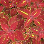 seasonal color plants McPlants, B0000422