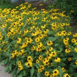 perennial flowers installation - McPlants, IMG_0151