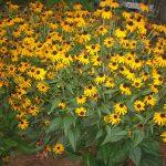 perennial flowers installation - McPlants, IMG_0721