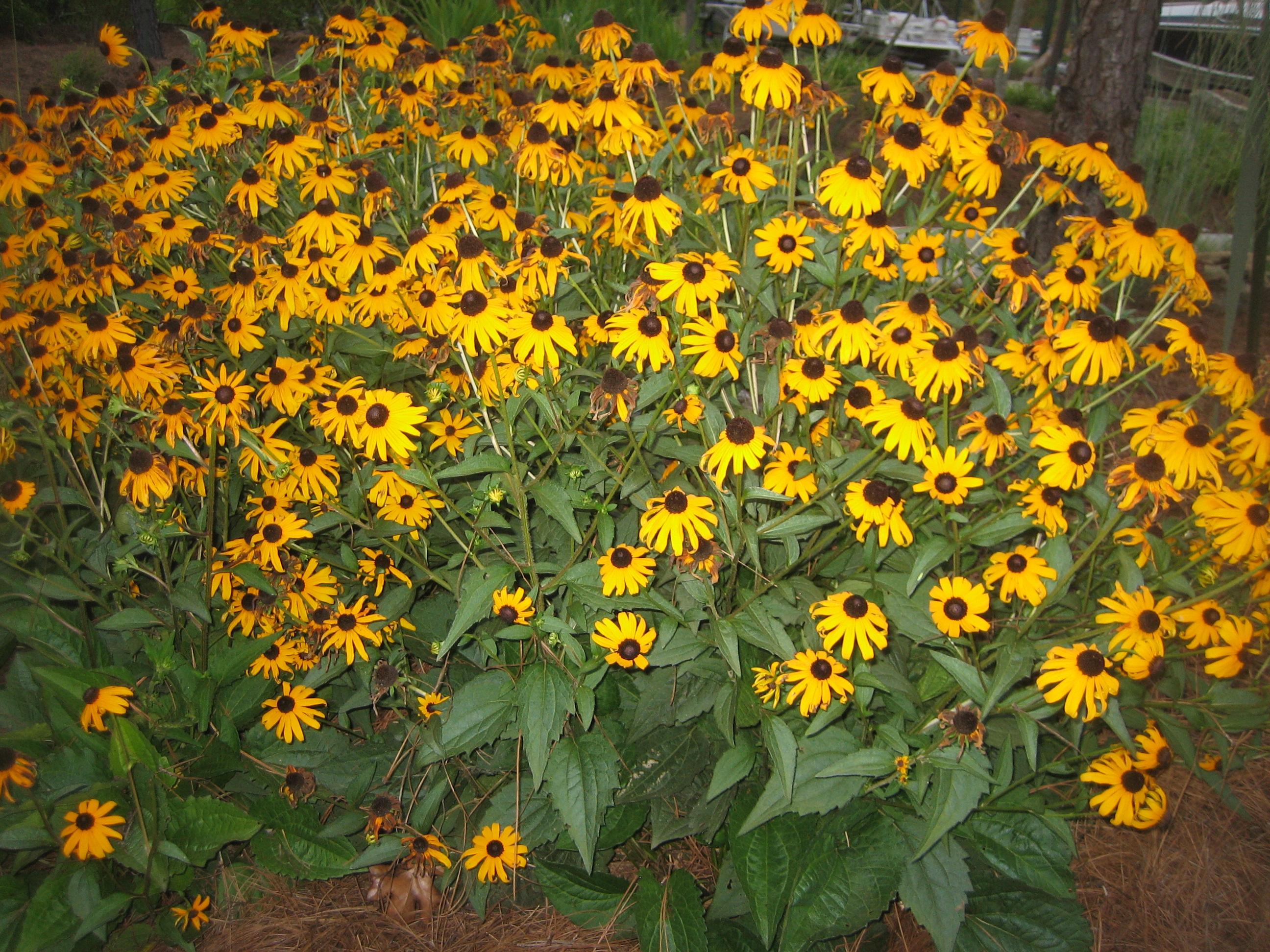 Perennial Flowers Mcplants