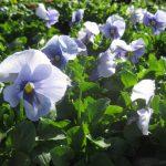 seasonal color plants McPlants, IMG_0821
