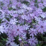 perennial flowers installation - McPlants, IMG_2773