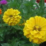 seasonal color plants McPlants, IMG_3465