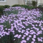 perennial flowers installation - McPlants, IMG_6104