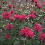 perennial flowers installation - McPlants,, IMG_7251