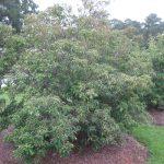 Cornus kousa 'Angustata' Evergreen Kousa Dogwood