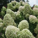 Hydrangea paniculata 'Limelight' Limelight Hydrangea'