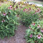 Echinacea purpurea 'Kim's Knee High'  Coneflower