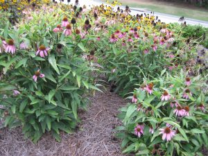 Echinacea purpurea 'Kim's Knee High'  Coneflower
