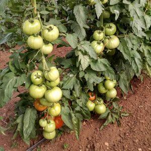 Organic Tomato Crop Country Gardens Farm